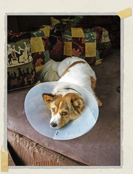 'Looking quite pitiful as 'moon dog' wearing his little cone while recovering from a scratch on his paw
