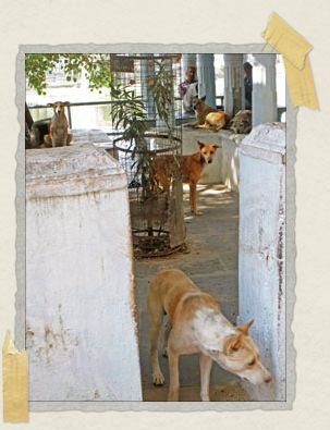 'How many pooches can you count in this picture? These doggies liked to hang out at the local temple.