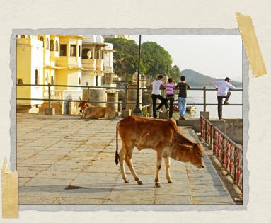 'Some well-dressed Indian teenagers look out over Udaipur's lake while mama and baby cow enjoy the sun