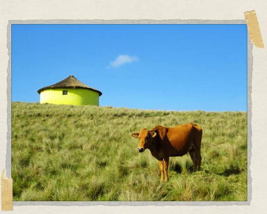 'A happy little cow poses with a traditional Xhosa house called a rondoval