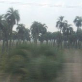 Blurry Cows and Palm Trees: A Travel Day