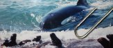 The Orcas of Peninsula Valdes